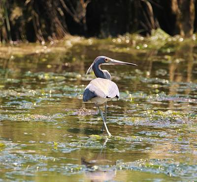 Photograph - Back Stepping Tricolored Heron by Karen Silvestri