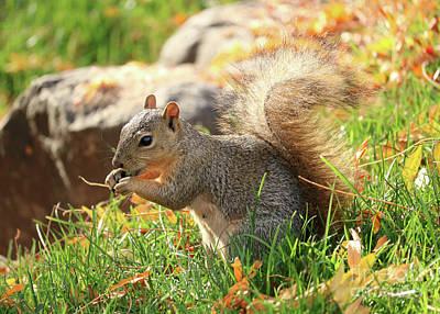Photograph - Backlit Autumn Squirrel by Carol Groenen