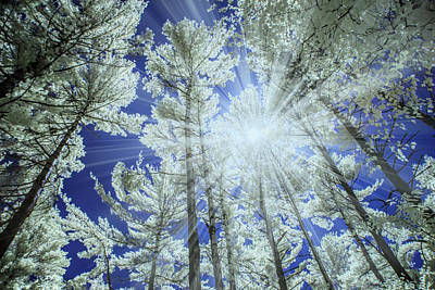 Photograph - Backlit Pine Trees In Infrared by Randall Nyhof