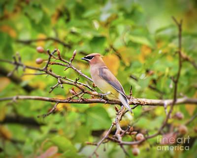 Photograph - Backyard Birding - Cedar Waxwing by Kerri Farley
