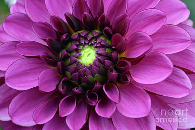 Royalty-Free and Rights-Managed Images - Backyard Dahlia  by Carol Eliassen
