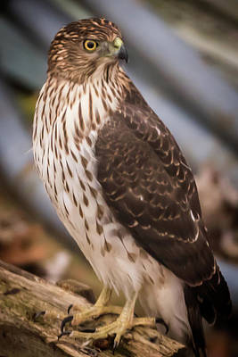 Photograph - Backyard Visitor Hawk by Terry DeLuco
