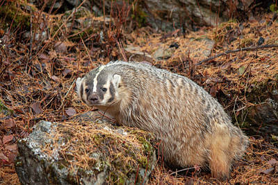 Photograph - Badger 3209 By Tl Wilson Photography by Teresa Wilson