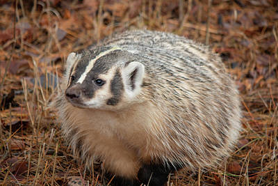 Photograph - Badger 3324 By Tl Wilson Photography by Teresa Wilson