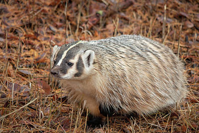 Photograph - Badger 3341 By Tl Wilson Photography by Teresa Wilson