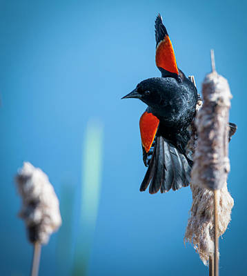 Photograph - Balancing On A Cattail by Philip Rispin