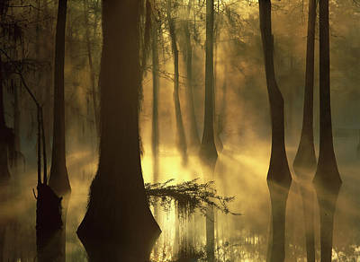 Photograph - Bald Cypress Taxodium Distichum Grove by Tim Fitzharris/ Minden Pictures
