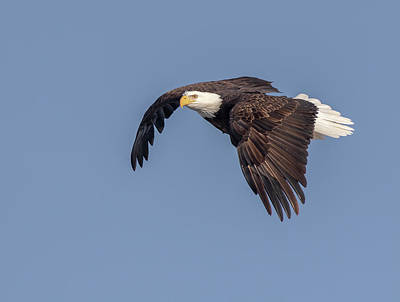 Photograph - Bald Eagle 2019-10 by Thomas Young