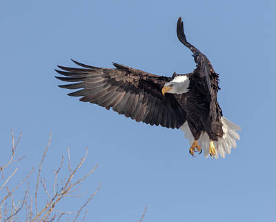 Photograph - Bald Eagle 2019-13 by Thomas Young