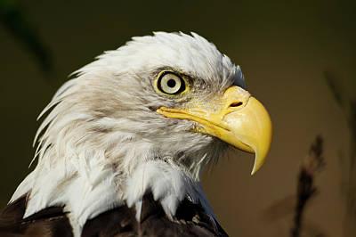 Eagle Photograph - Bald Eagle, Alaska by Paul Souders