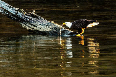 Photograph - Bald Eagle At The Watering Hole by Jack Peterson