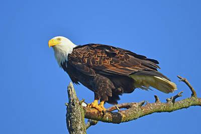 Photograph - Bald Eagle by Curt Remington