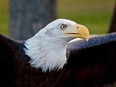 Photograph - Bald Eagle by Dan Miller