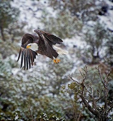 Photograph - Bald Eagle Flight by Britt Runyon