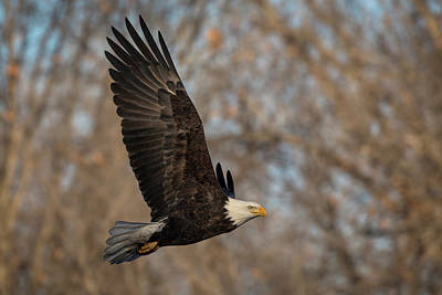 Photograph - Bald Eagle Fly By by Scott Bean