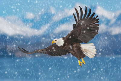 Digital Art - Bald Eagle Flying In Snow by Mark Miller