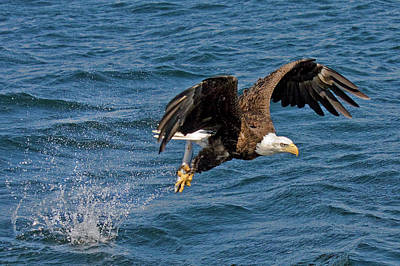 Eagle Photograph - Bald Eagle Flying With Fish In Talons by Melinda Moore