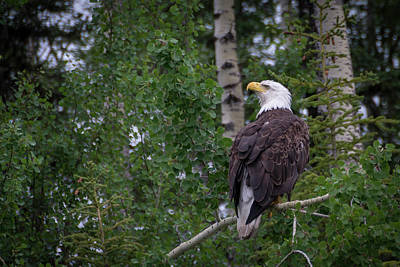 Photograph - Bald Eagle by Gary Lengyel