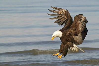 Eagle Photograph - Bald Eagle, Haliaeetus Leucocephalus by Rolf Hicker