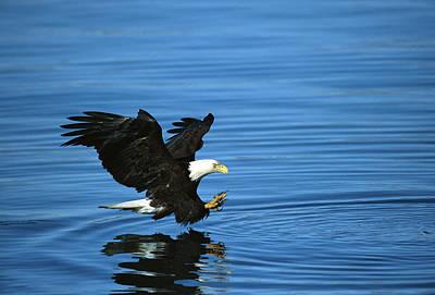 Photograph - Bald Eagle Haliaeetus Leucocephalus by Tom Vezo/ Minden Pictures