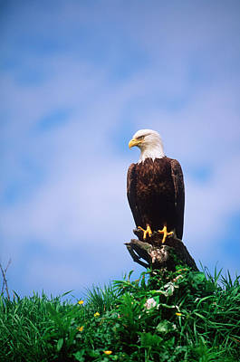 Bird Photograph - Bald Eagle Haliaetus Leucocephalus by Chris Cheadle
