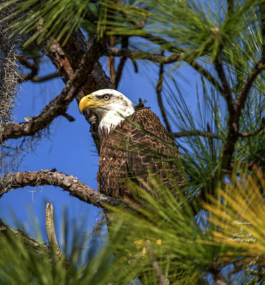 Photograph - Bald Eagle In Pine Tree by Kevin Banker