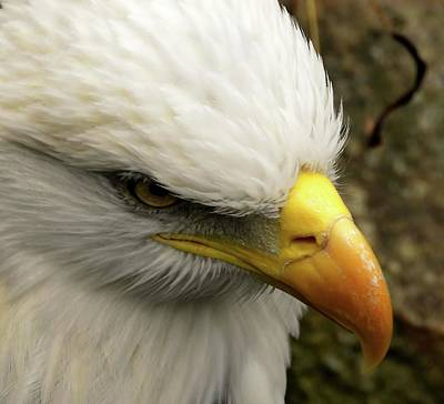 Animals Royalty-Free and Rights-Managed Images - Bald Eagle by Jennifer Wheatley Wolf