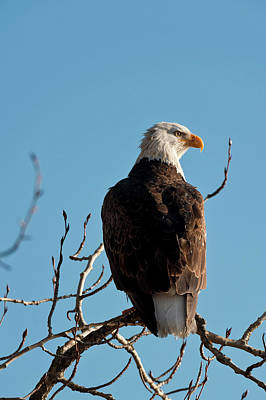 Eagle Photograph - Bald Eagle Perch At Lake Coeur Dalene by Mike Berenson / Colorado Captures