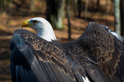 Impressionist Landscapes - Bald Eagle Ready To Fly by Chris Flees