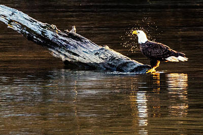 Photograph - Bald Eagle Shaking Off The Water by Jack Peterson