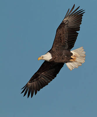 Bald Eagle Art Print by Straublund Photography