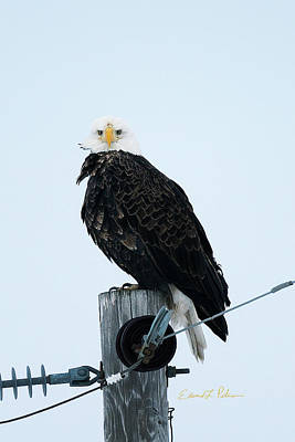 Photograph - Bald Eagle Watching Me by Edward Peterson