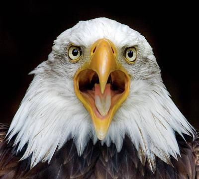 Eagle Photograph - Bald Eagle by Www.galerie-ef.de