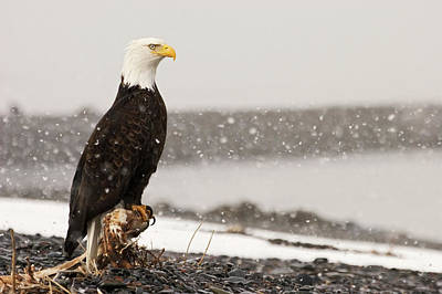 Eagle Photograph - Bald Eagles, Canada by Rolf Hicker