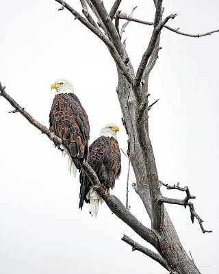 Photograph - Bald Eagles Montana Winter by Jennie Marie Schell