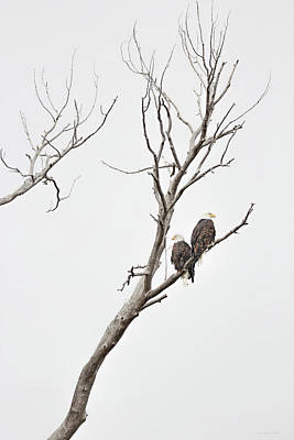 Photograph - Bald Eagle Raptors by Jennie Marie Schell