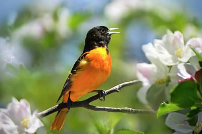Photograph - Baltimore Oriole Bird by Christina Rollo