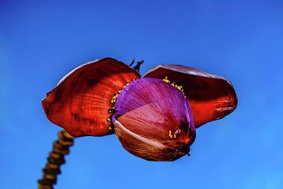 Photograph - Banana Blossom by John Bauer