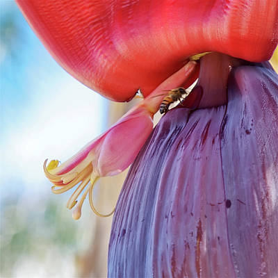 Photograph - Banana Flower Close-up With A Bee by Tatiana Travelways
