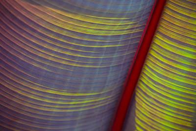 Photograph - Banana Leaf 8597 by Mark Shoolery