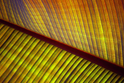 Photograph - Banana Leaf 8603 by Mark Shoolery