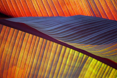 Photograph - Banana Leaf 8613 by Mark Shoolery