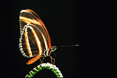 Insect Photograph - Banded Longwing Butterfly, Dryadula by Barrett & Mackay