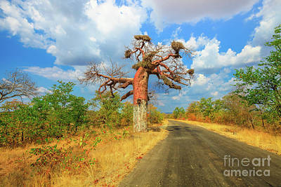 Photograph - Baobab In Musina by Benny Marty