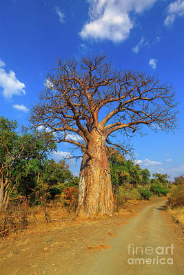 Photograph - Baobab In South Africa Vertical by Benny Marty