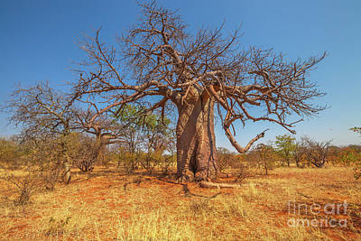 Photograph - Baobab Of South Africa by Benny Marty
