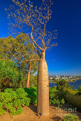 Photograph - Baobab Tree In Kings Park by Benny Marty