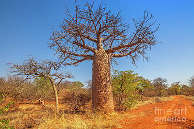 Photograph - Baobab Tree South Africa by Benny Marty