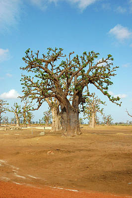 Photograph - Baobab Trees, West Africa by Mark Duehmig