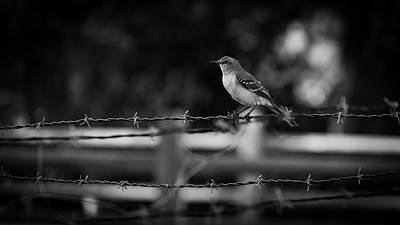 Photograph - Barbwire Mockingbird Delray Beach by Lawrence S Richardson Jr